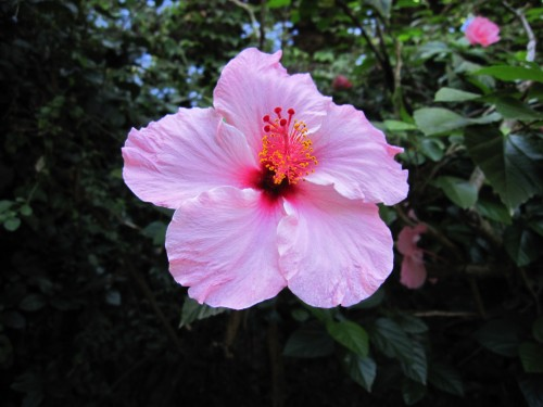 hibiscus flower, Buenos Aires