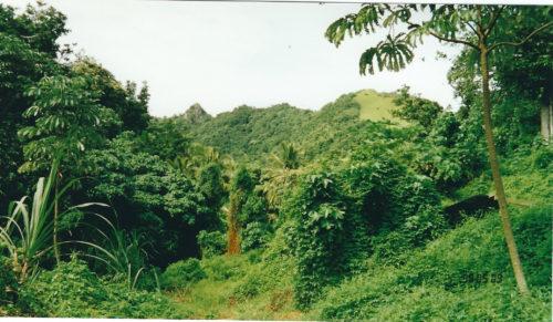 papaya trees_Rarotonga